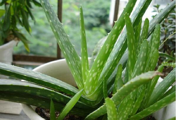 芦荟(学名:aloe vera)芦荟属,为百合科多年生常绿草本植物,叶簇生